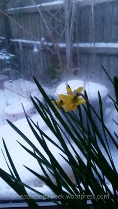 Daffodil Snow flower photo