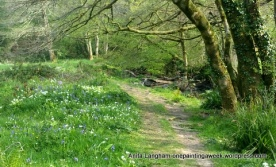 Cornish Woodland bluebells trees photo